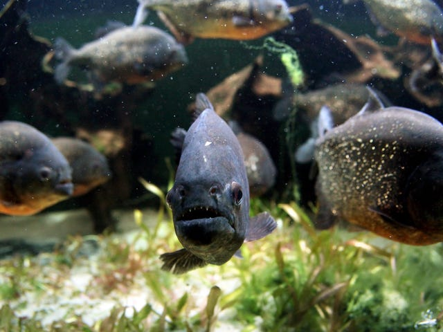 Last Call: Getting eaten by piranhas is the worst way to go