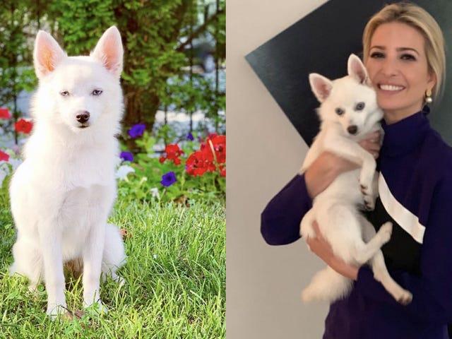 イヴァンカの新しい犬にまだ会ったことがありますか?