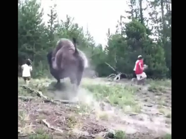 Bison Gets Irritated By Tourists, Tosses Child Into Oblivion