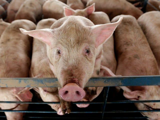 Вчені частково відроджують безтілесні свинячі мозку, піднімаючи величезні питання