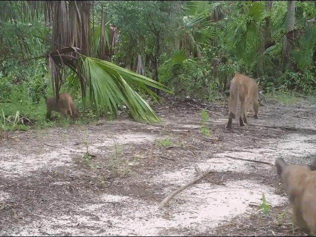 कोई नहीं जानता कि फ्लोरिडा के पैंथर्स के साथ इस अजीब तरीके से चलने के लिए क्या हो रहा है