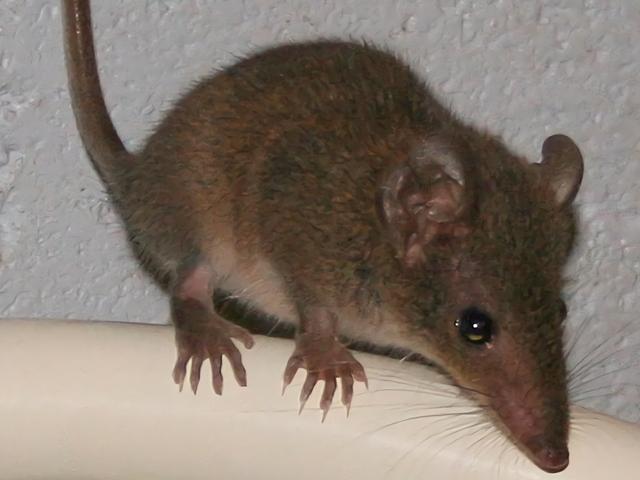 Este animal australiano tiene tanto sexo que literalmente destruye su cuerpo hasta morir<em></em>