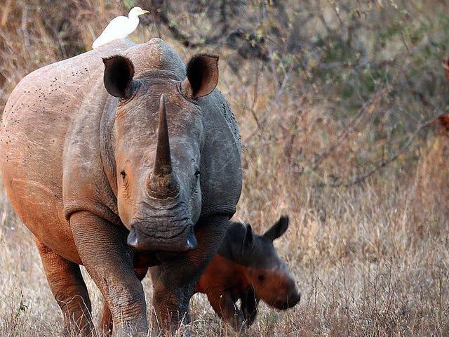 라이온스가 먹은 코끼리에 의해 사망 한 라이노 푸사의 의심