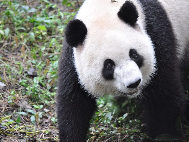 Giant Panda Breeding Efforts Have Actually Been Really Successful
