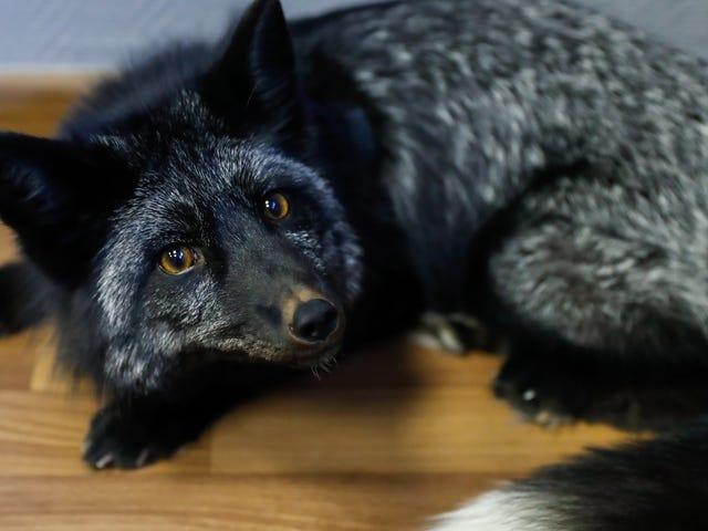 Những con cáo nổi tiếng được nhân giống cho sự thuần khiết không thực sự hoang dã ngay từ đầu, Tuyên bố mới Giấy gây tranh cãi