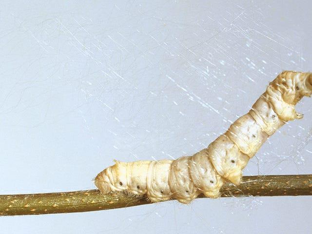 Science Gives Silkworms Spiderman-esque Silk
