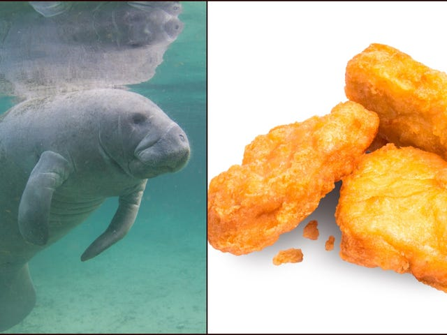 What do you get when you cross a manatee with a chicken nugget?