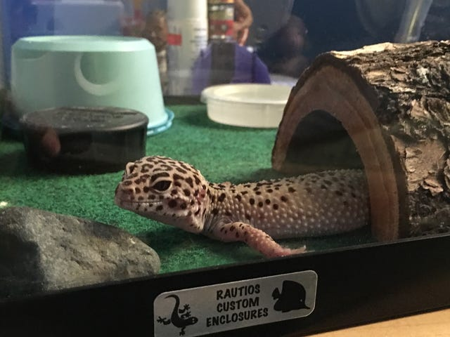 Geckositelock