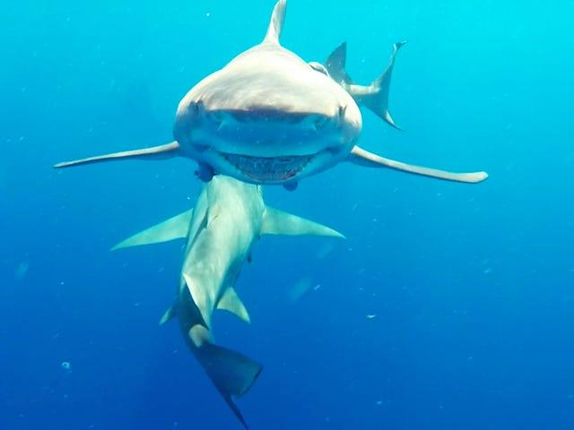 Fun with Sharkies