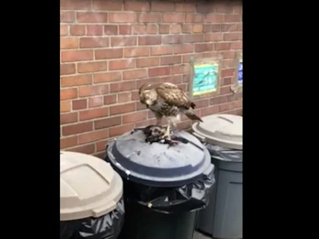 Deadspin Nature Moment: A Hawk Eating A Pigeon On Top Of A Trash Can
