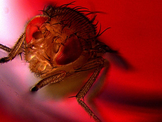 Flies Love to Ejaculate, Experiment Finds