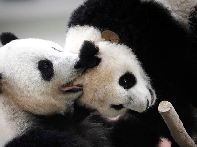 Pandas Are Probably Still Screwed, Sorry