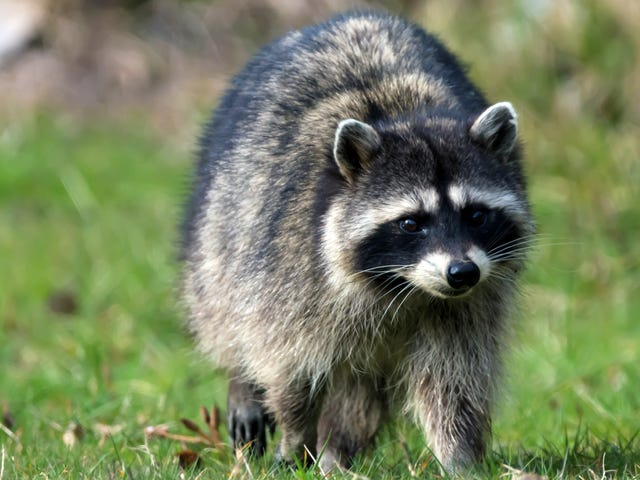 Your attention, please: The Minnesota skyscraper raccoon is safe