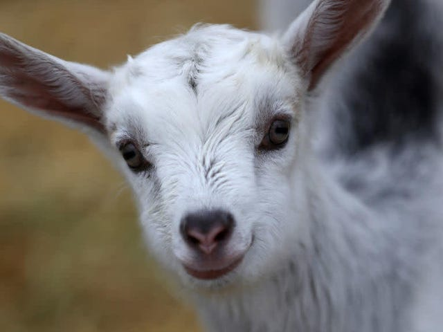 """This summer's hottest event is a """"Goat LARP,"""" a LARP designed to entertain goats"""