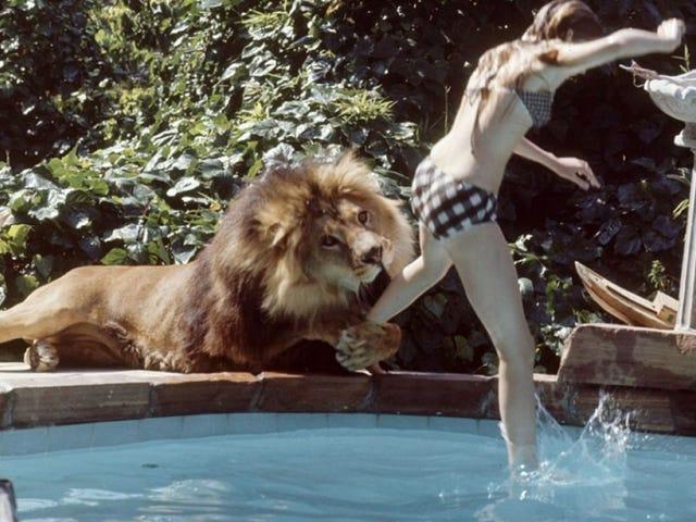Cómo se rodó <i>Roar</i> , la película más peligrosa de la historia que estuvo a punto de acabar kanssa vida de todo el reparto