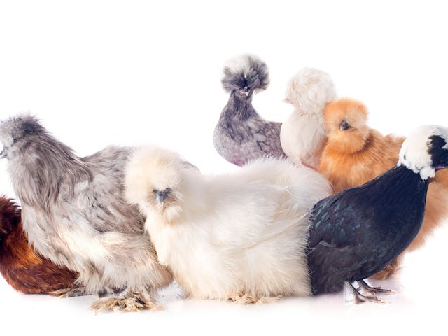 Last Call: Oh man look at these beautiful chickens