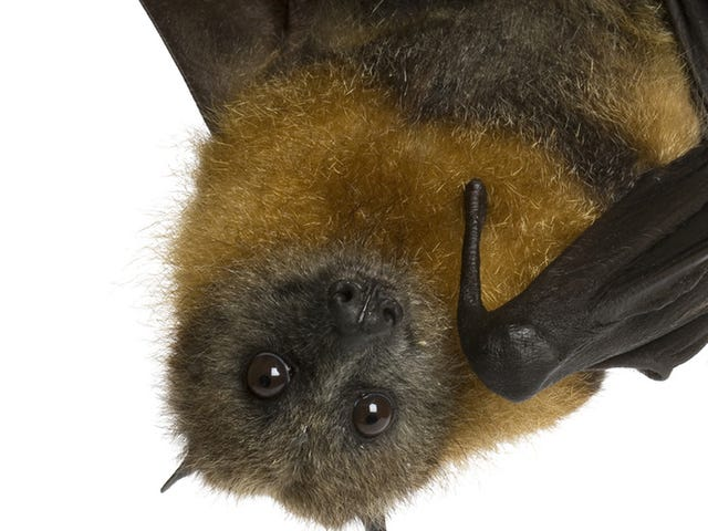 Latest Ebola Outbreak Caused By Bat Play, Horrifying Rain of Bats