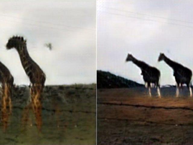 Finally, a Neural Network Can Turn a Bunch of Sheep Into Some Decent Giraffes