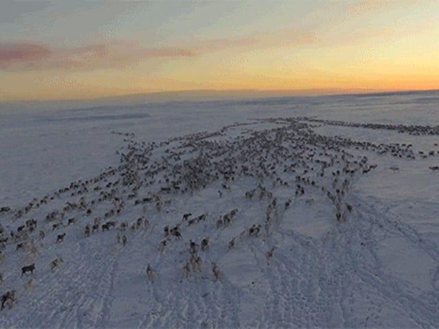 Widzenie migracji tyłów reniferów w zimie jest całkowicie majestatyczne