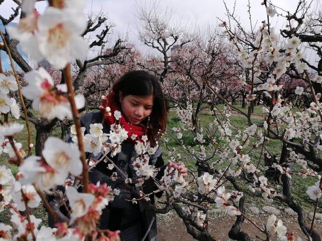 Exploring the Plum Blossoms. Osaka, Japan