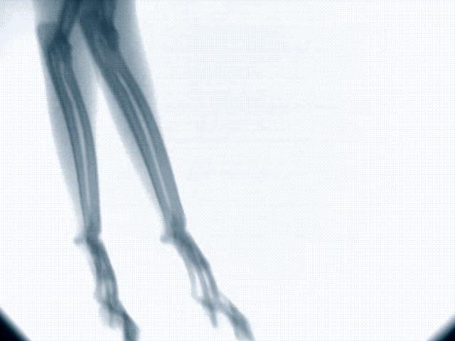 फ्लोरोस्कोपिया ऑफ अन गैटो, ला टेक्निक की अनुमति के लिए इंटीरियर के साथ एक सर्किट में चलती है