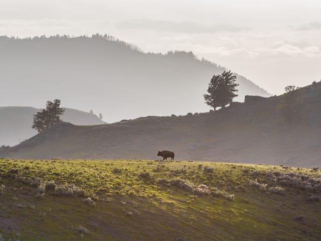 Den nordamerikanske bison vil snart være den amerikanske nationale mammal