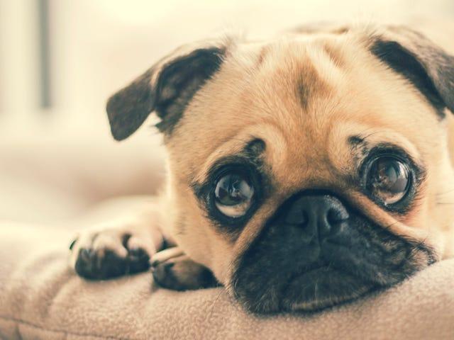 La creencia de que un humo equivale a siete de perro es falsa: así envejecen realmente