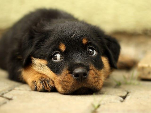 宠物商店的小狗正在向人类传播一种引起腹泻的超级细菌