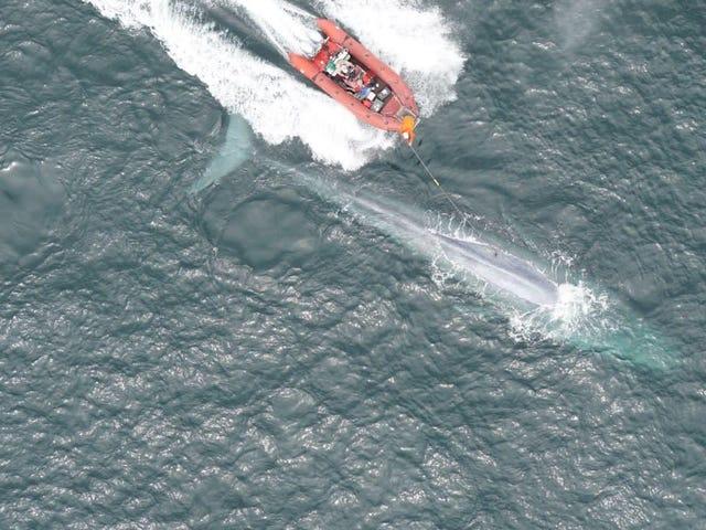 Οι πρώτες μετρήσεις της καρδιακής συχνότητας ενός γαλάζιου φαλαινιού είναι μια ματιά στη βιολογία των ακραίων