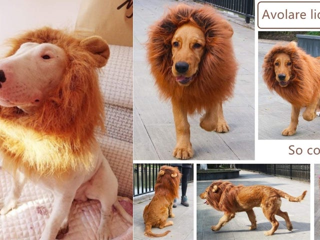 I Saved Five Bucks On This Lion Dog Mane, With Free Two Day Shipping, Cause I am a Saver, And You're Gonna Hear Me ROAR