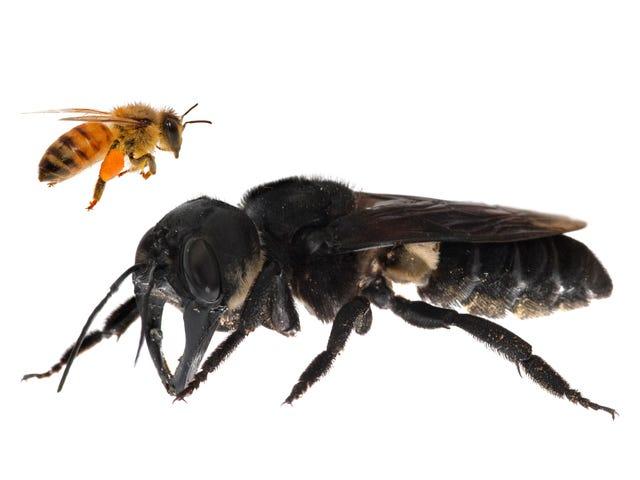 ผึ้งที่ใหญ่ที่สุดในโลกเคยสูญพันธุ์เมื่อถูกคิดว่ายังมีชีวิตอยู่