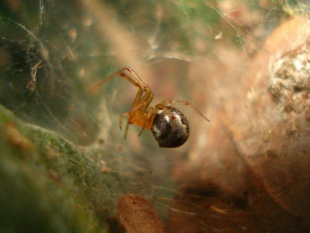 Uragani e cambiamenti climatici potrebbero rendere i ragni più aggressivi
