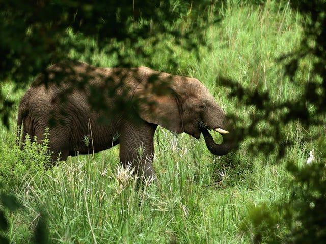 The Trump Administration's Justification for Allowing Elephant Trophies Reeks of Bullshit<em></em>