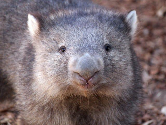 在你的生活中你需要这些Dope-Ass Wombats