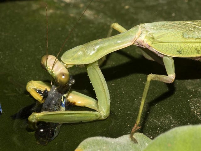 Dear Lord, Praying Mantises Can Actually Catch Fish
