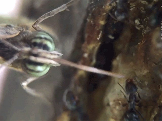 Παρακολουθήστε ένα δάγκωμα μυρμήγκι μια πεταλούδα για να το πετάξει μακριά