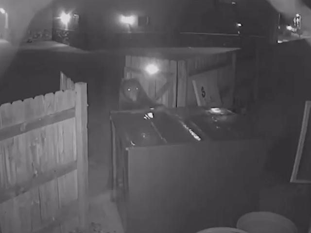 Este oso no pudo abrir un enorme contenedor de basura, así que se lo llevó entero