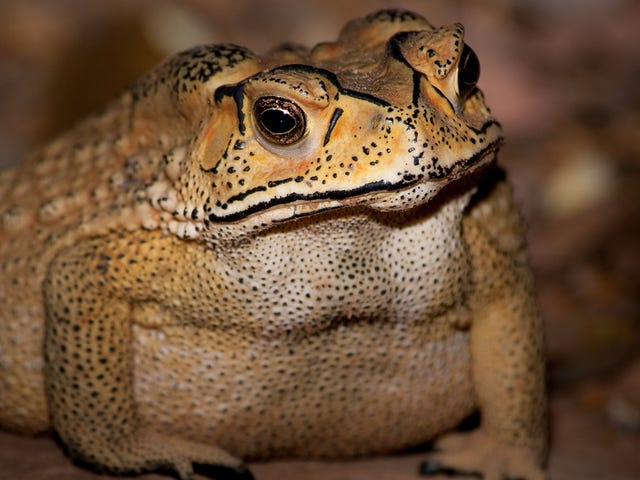 Madagascar's Toxic Toad Invasion Is Worse Than We Realized