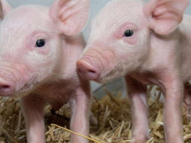 Genetically Engineered Super Pigs Could Make Your Bacon Better