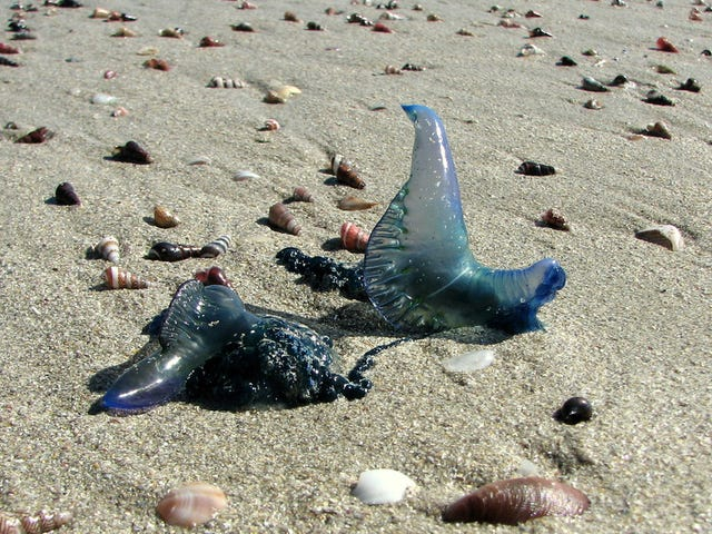 A Man O' War 'Epidemic' Is Sweeping Australian Beaches, and It Won't Be the Last