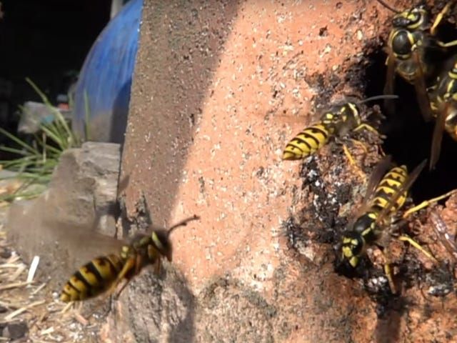 Look at these dumb, clumsy wasps