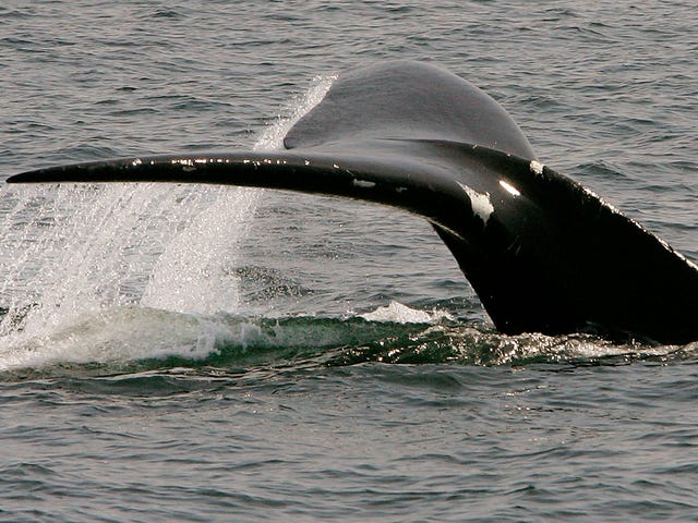 Everything Is Going Wrong for North Atlantic Right Whales This Year [Updated]
