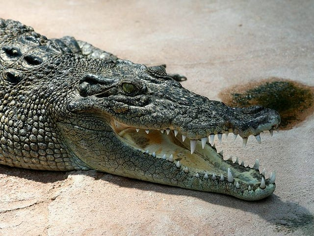 Brutus The Three-Legged Croc Enjoys A Sharky Snack
