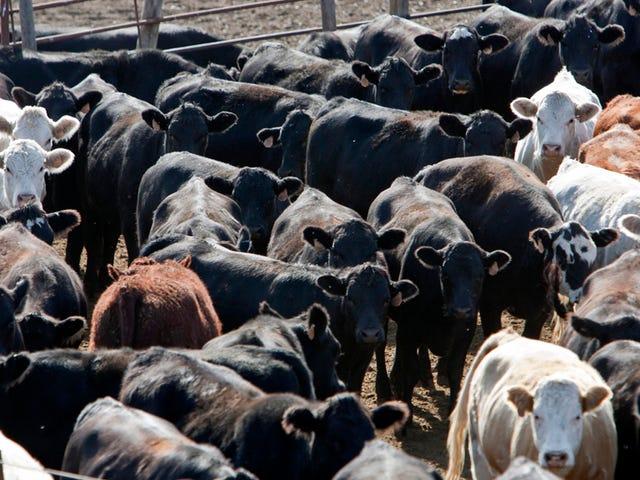 Feeding Cow Antibiotics kan vara mycket värre än vi trodde