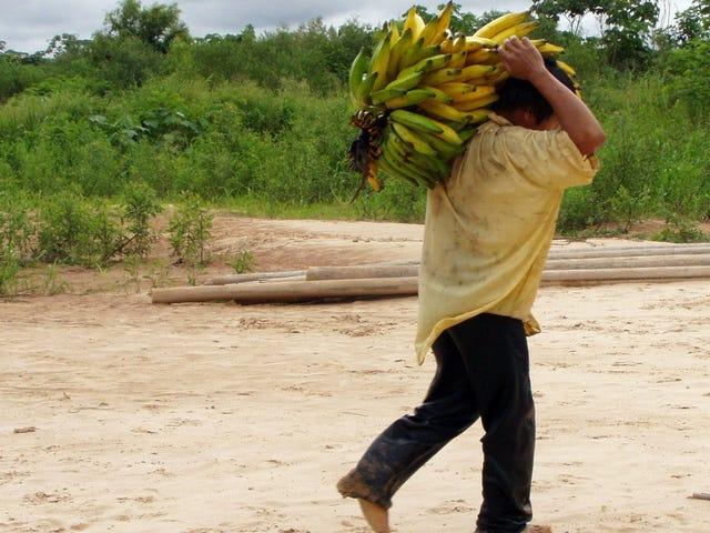 Một nhóm người bản địa nổi tiếng với sức khỏe trái tim bắt đầu sử dụng dầu ăn và bắt đầu tăng cân