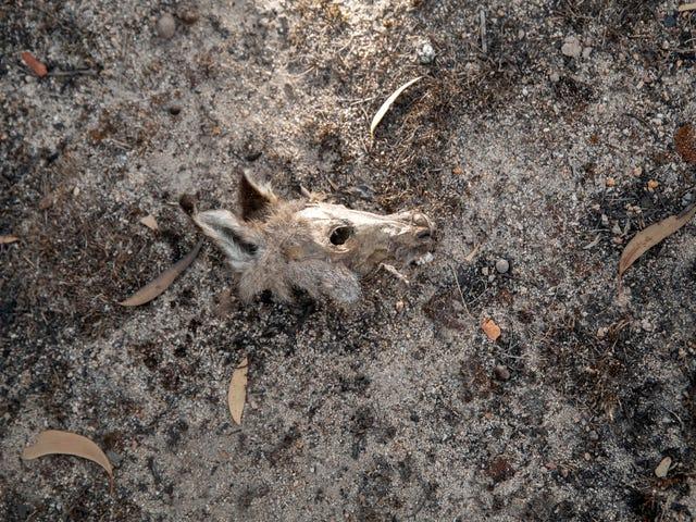 Australijskie pożary buszu przyniosły 113 gatunków bliżej wyginięcia