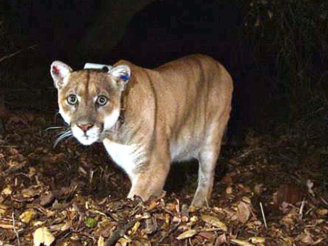 Mountain Lion Attack Runner sa Colorado, Runner Strangles It to Death