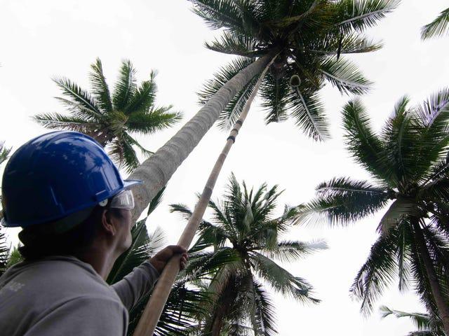 नारियल का तेल अगला विनाशकारी जैव ईंधन हो सकता है