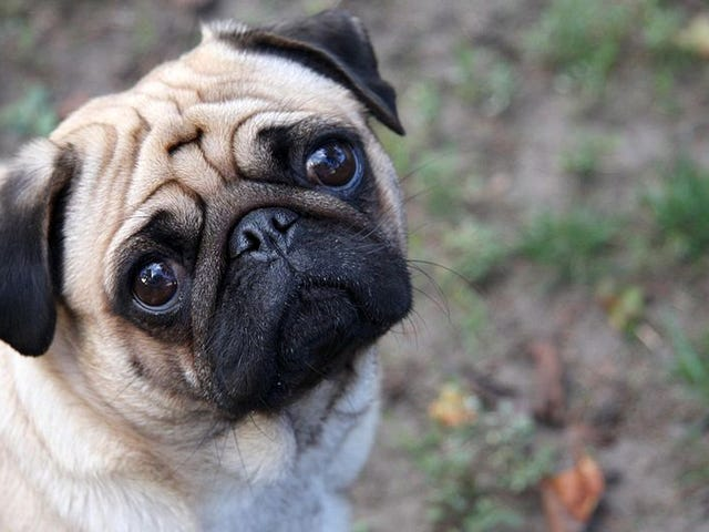 Dogs Feel Jealousy, Raising Questions About Its Evolutionary Origin