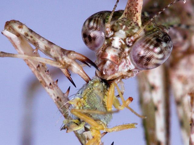 Une nouvelle espèce de mante religieuse empale sa proie sur des pointes barbelées